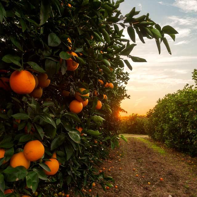 Πορτοκαλιές Γλυκά Κουταλιού